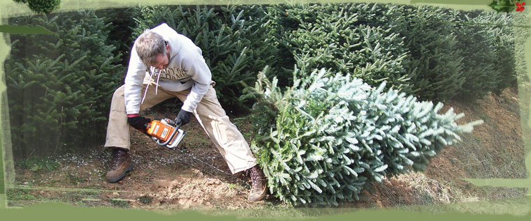 - NC Choose And Cut Christmas Tree Farms|Order Live Christmas Trees Online