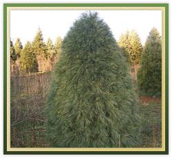 White Pine Christmas Tree Care
